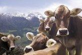 Mucche di tradizionale razza bovina